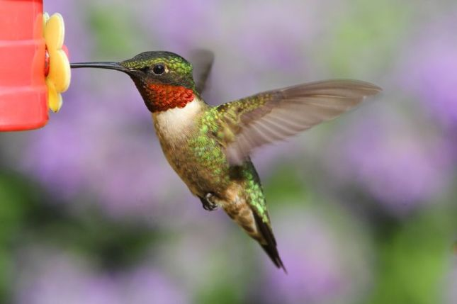 Ruby-throated-Hummingbird-29865977_m.jpg